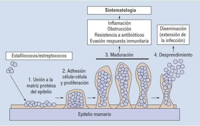 Formación biofilms